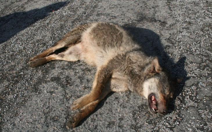 Provoz na dálnici D1 zaplatil životem vlk.  Případ znovu otvírá otázku, zda dostatečně myslíme i na divoká zvířata