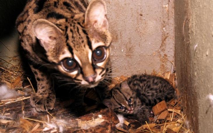 V Zoo Jihlava se mohou pochlubit další velkou novinkou. Vzácným kočkovitým šelmám margayům se narodilo kotě