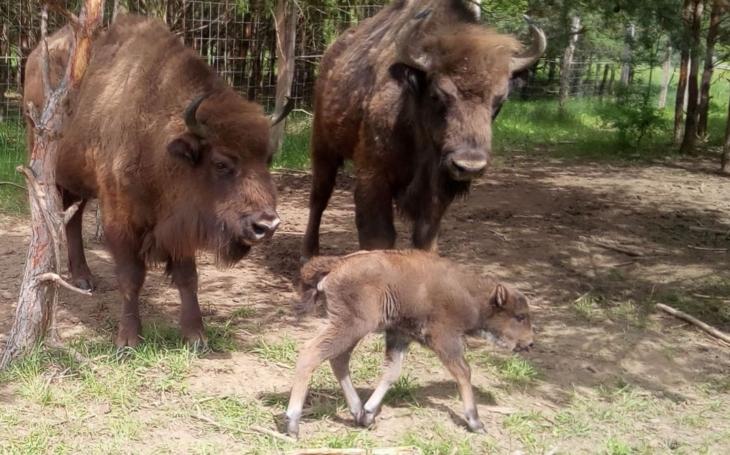 V rezervaci se dnes narodilo první letošní mládě zubrů, samec Polanin se stal poprvé otcem