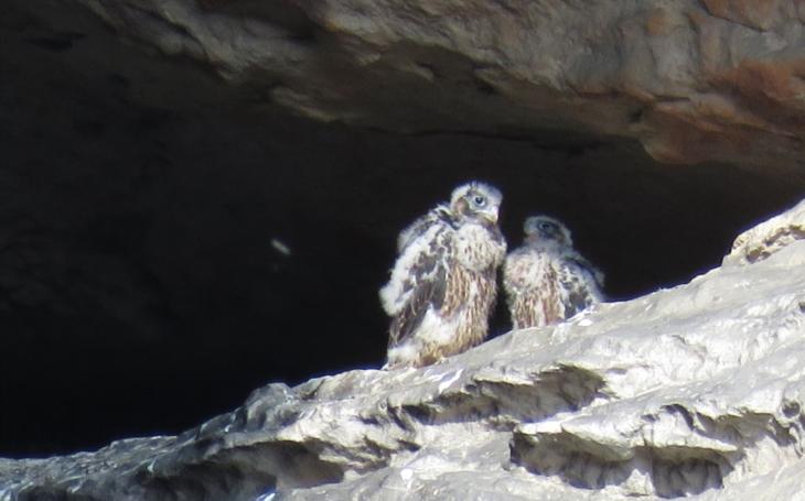 Sokoly můžete v Teplickém skalním městě pozorovat už tento víkend. Tři mláďata se právě učí létat