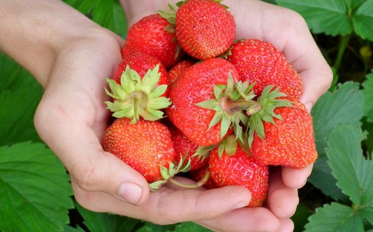 Čerstvé jahody? Nejlepší je samosběr, kilo vychází na pěknou cenu od 32  korun. Čtěte i přehled, kde všude po ČR můžete sbírat