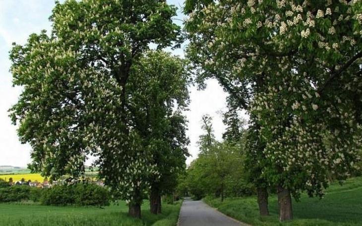 Průjezd památnou alejí v Kvasicích bude bezpečnější. Pomyslná plechovka pro natření kmenů reflexní barvu už je téměř plná