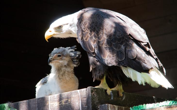 V liberecké Zoo zažili hodně netradiční adopci hadilova písaře z Dvora Králové. O mládě dravého ptáka se teď starají orli bělohlaví