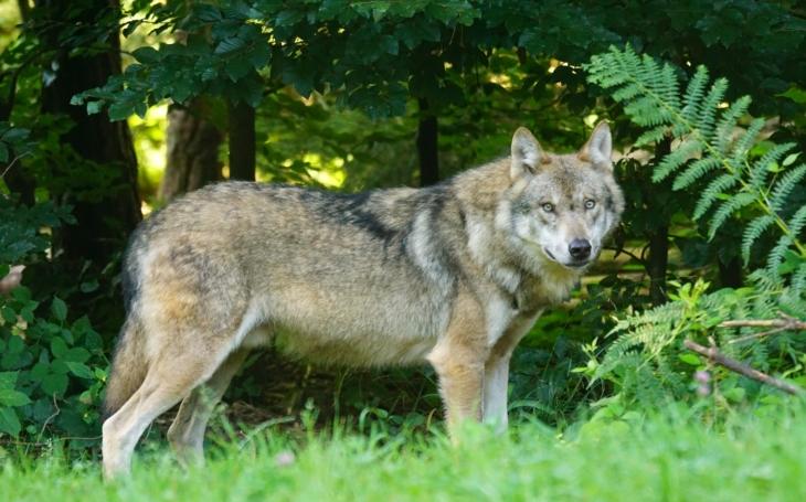 Vzácný vlk pózoval jako filmová hvězda. Bát se ho může jenom Červená Karkulka. Ale co ti divočáci?
