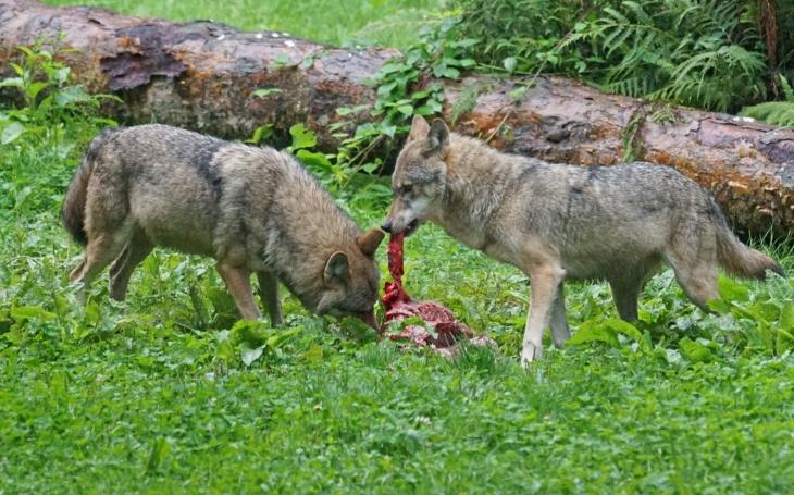 Masakr v ohradě. Šumavu obchází vlci. Zaútočili na ovce, 19 jich zahynulo. Chovatelé mají strach o svá stáda