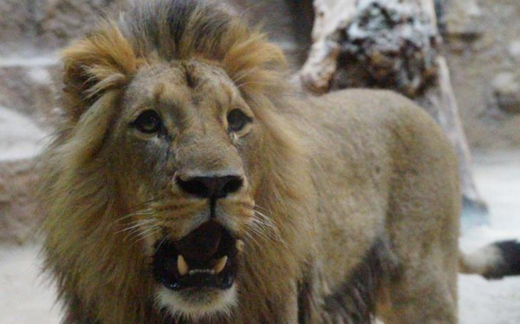 Hvězdami nové show jsou lvi. ZOO Brno spustila živé přenosy ze života páru samce Lolka a samice Kivu