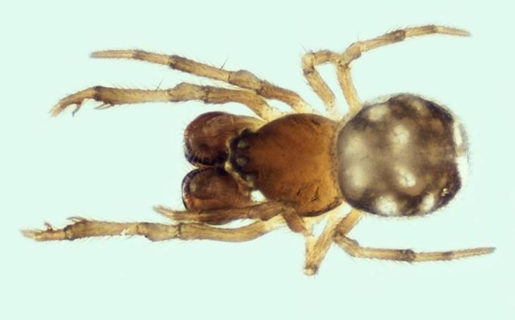 Na Moravě vůbec poprvé, v Česku po 17 letech. Vědci našli v Podyjí vzácného pavouka Mysmena Jobova