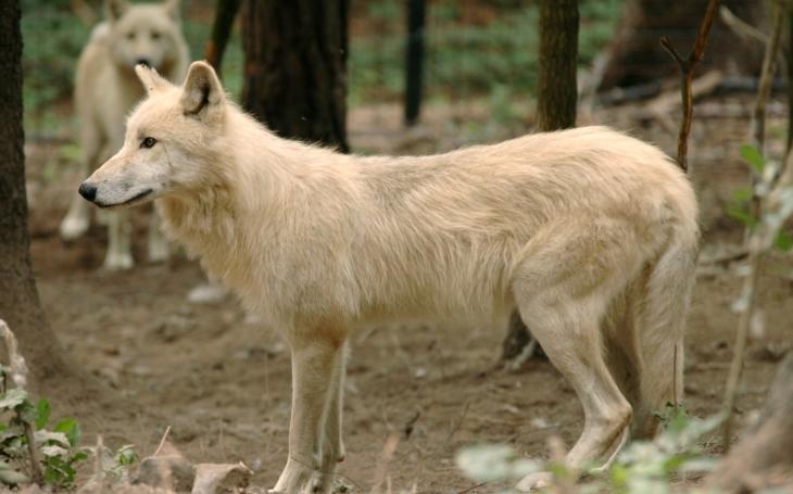 Tříletou dívenku pokousal v olomoucké ZOO vlk. Událost vyšetřuje policie, zoologická zahrada vyzývá k větší opatrnosti