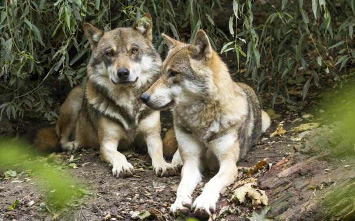 Čtyři vlčí mláďata zapózovala na záběrech z fotopasti. Podařilo se je zachytit na dvou videích. Vlčí smečka u Doks se opět rozrostla