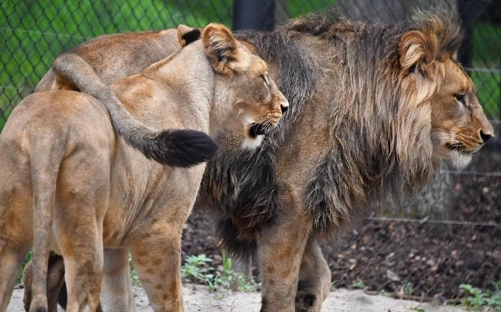 Lev Lolek a lvice Kivu mají za sebou první rande. On byl nad věcí, ona si ho hlídala. Brněnská ZOO věří v odchov lvíčat a chystá otevření nové expozice