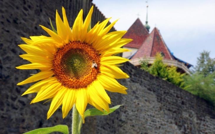Sluncovky, večernice, krásnoočka či třapatky; křehká krása v ulicích Jihlavy. Záhony lučních květin se během roku mění a s nimi i tvář města