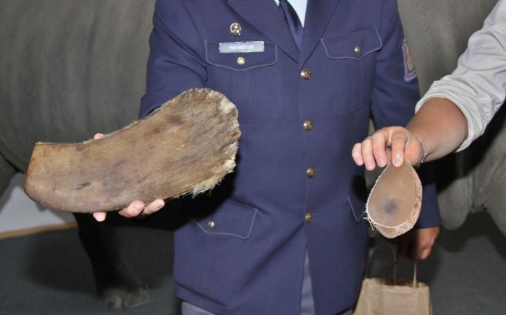 ZOO Dvůr Králové předala vzorky nosorožčí rohoviny celníkům a inspekci. Zbytek zásob spálí