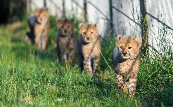 Sid, Sam, Solo, Jessi a Jenny. Gepardí paterčata pražské ZOO mají konečně svá jména; byla pokřtěna v sobotu