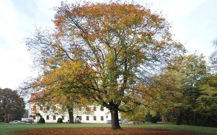 Titulem Strom roku se letos pyšní havířovský javor platanolistý, který přežil vlastní smrt