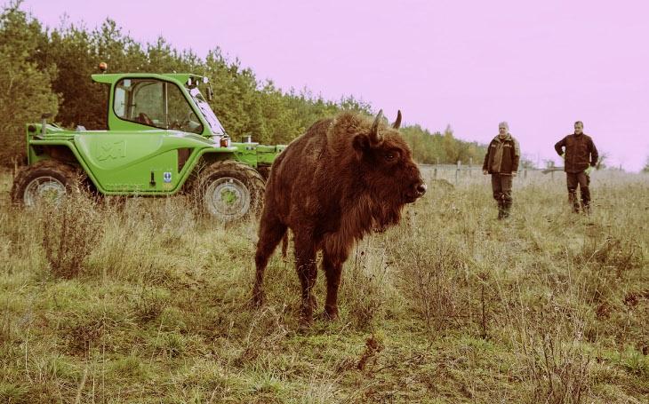 Zvířata jela 14 hodin kamionem, pak je převážel nakladač. Do milovické rezervace přijelo pět zubřic z polské Bělověže