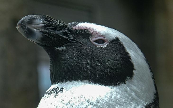 ZOO v Ústí nad Labem připravila předčasný vánoční dárek, zcela novou expozici s tučňáky