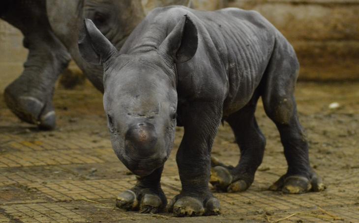 Mládě nosorožce dvourohého v ZOO Dvůr Králové bylo pokřtěné na Emilka Ebi