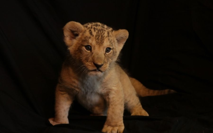 Plzeňský novopečený lví král dostal jméno Baqir, to znamená ´srdci blízký´.  Zoo pokřtila vymodlené lvíče