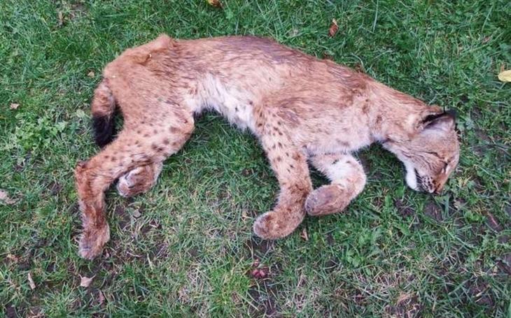 Před smrtí vážila sotva 10 kilo a hrozně trpěla... Lauru zastřelil bezcitný pytlák. Zanechala dvě rysátka, která nejspíš nepřežijí