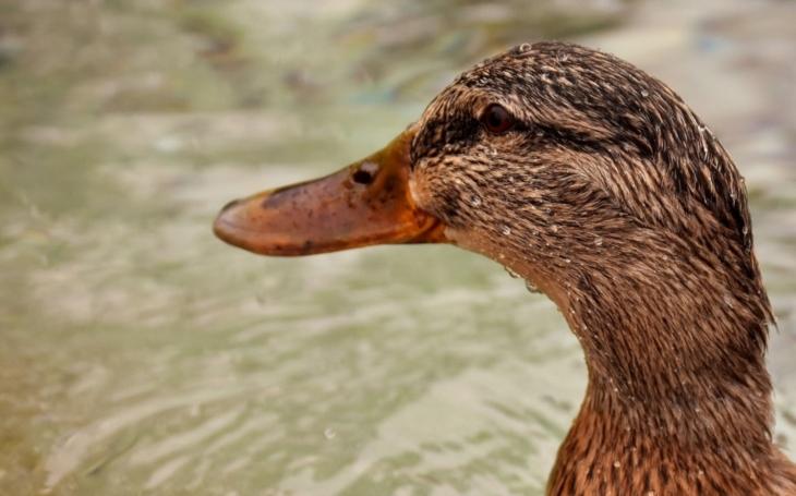 Transportní služba pro kachnu obývající atrium ZŠ... Záchranka pro volně žijící zvířata v nouzi a její kuriózní příběhy