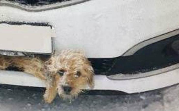 Zázraky se dějí. Řidič srazil psa, který se vklínil do masky auta. Pětikilometrovou jízdu chlupáč přežil