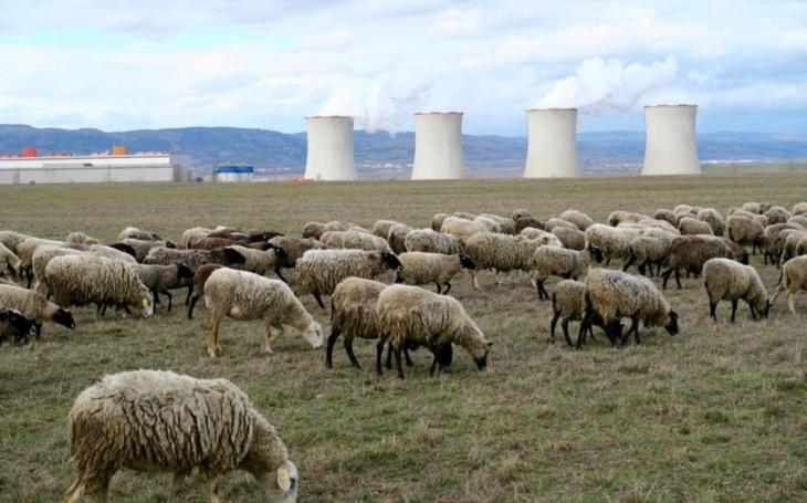 Živé travní sekačky chrání kriticky ohrožený druh motýla... Ovce a kozy nyní zimují na Žatecku