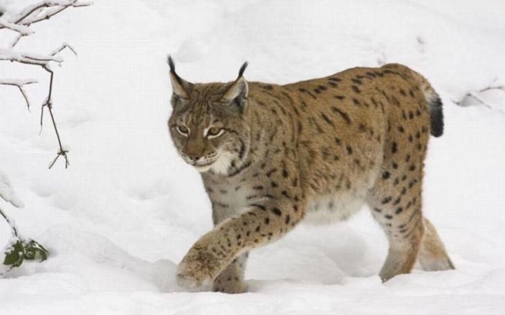 Na běžkách, na sněžnicích, případně pěšky... Ochránci přírody pátrají v Beskydech po rysech, vlcích, medvědech