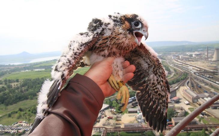 Do Českého středohoří se vrací sokol stěhovavý. Ochranáři tak vyhlásili zákaz vstupu do určitých oblastí