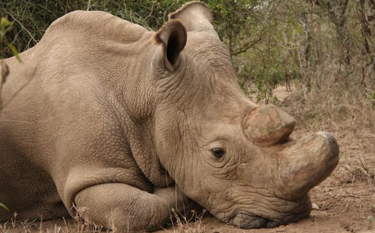 Tak smutné oči. Vzácný nosorožec Sudán ze Dvora Králové, kterého poslali v roce 2009 zpět do Keni zachránit druh, umírá