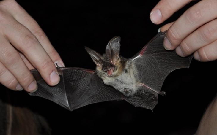 Boj proti komárům ve Zlíně. Žádná chemie, do parku vypustili 150 vzácných hladových netopýrů