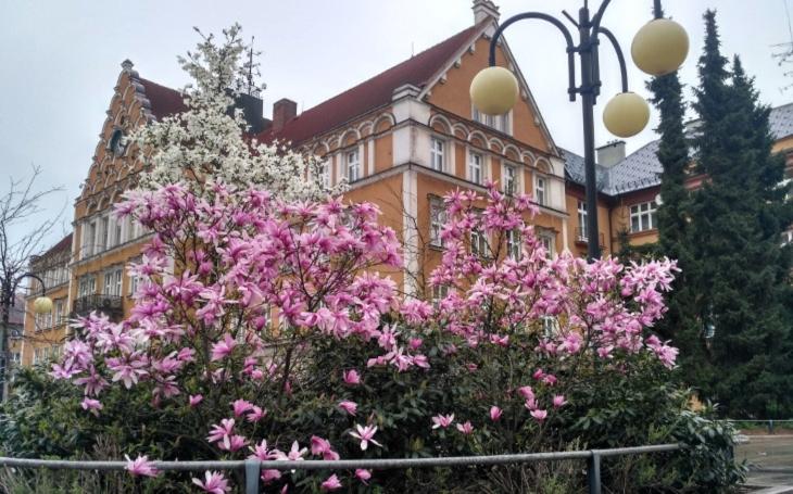 Jak Japonci, pozorující kvetoucí sakury. V obou Těšínech, českém i polském, se procházejí místní a obdivují magnólie