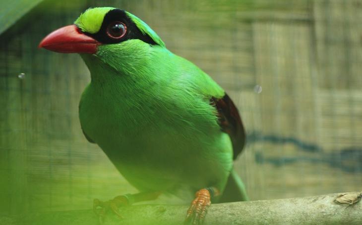 Ztichlý les. Tenhle kouzelný ptáček již nejspíše vyhynul. Jiným ale můžeme pomoci, aspoň trochu
