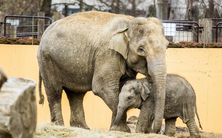Na Moravě se slonům daří, nevěříte? V Ostravě má půlroční cvalík už půl tuny a ve Zlíně čekají na zázrak