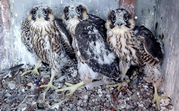 Trmický pár je první, který vyvedl potomky, dva sokolí kluky a jednu holku. Kroužkování je ale dost naštvalo