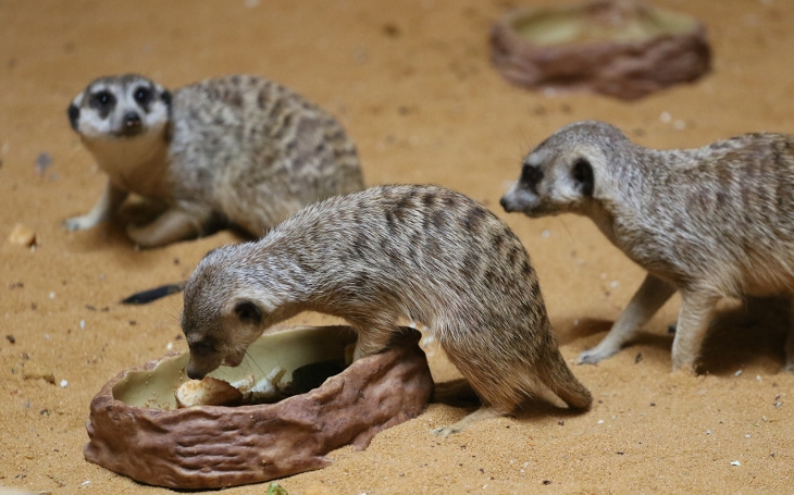 V olomoucké Zoo na návštěvníky z nové africké expozice vykouknou roztomilé surikaty. Tahákem je i první jedovatý had