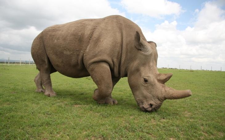 Průlom v záchraně nosorožců bílých severních. Vědcům se podařilo vyvinout první hybridní embryo nosorožce