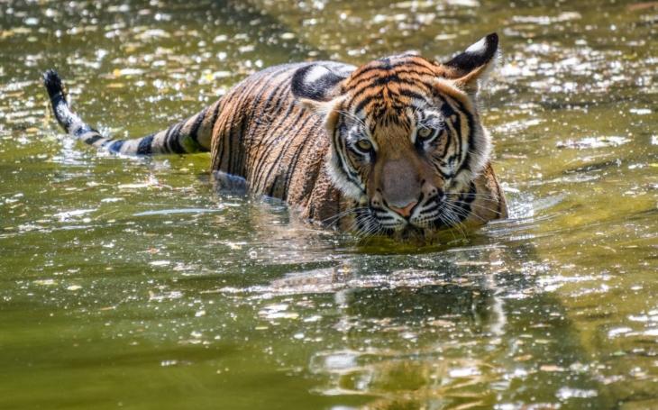 Tygří mastička na potenci; o šokující praxi mluví ředitel Zoo. Má Plíšková předmanželskou smlouvu? VIP skandály a aférky