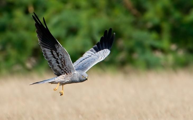 Přes své jméno je to nádherný dravý pták. Podívejte, jak ochránci na Havlíčkobrodsku zachraňují hnízda motáka lužního