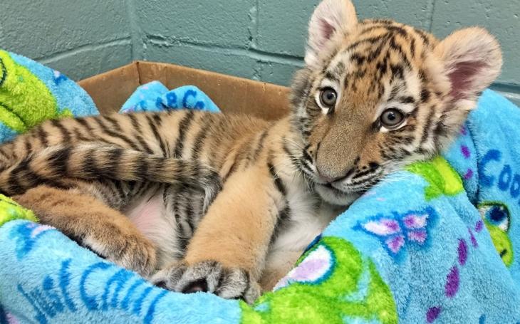 Také jste si pohladili tygří mládě? A víte, že jim tím ubližujete a přispíváte k byznysu s vývary z tygra? Přečetli jsme
