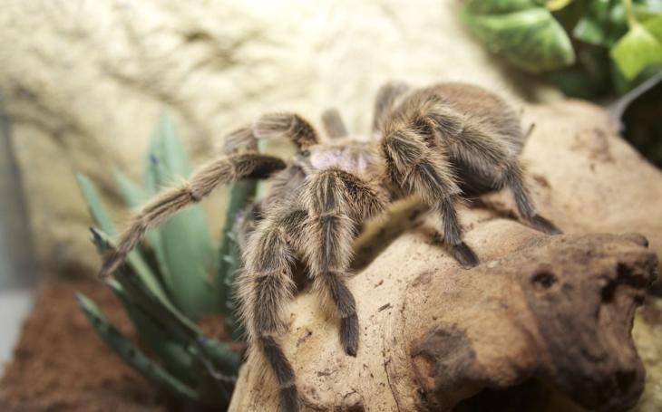 Někteří kolegové se naší kanceláři vyhýbali obloukem… Ve ztrátách a nálezech bohumínské radnice skončili pavouci sklípkani