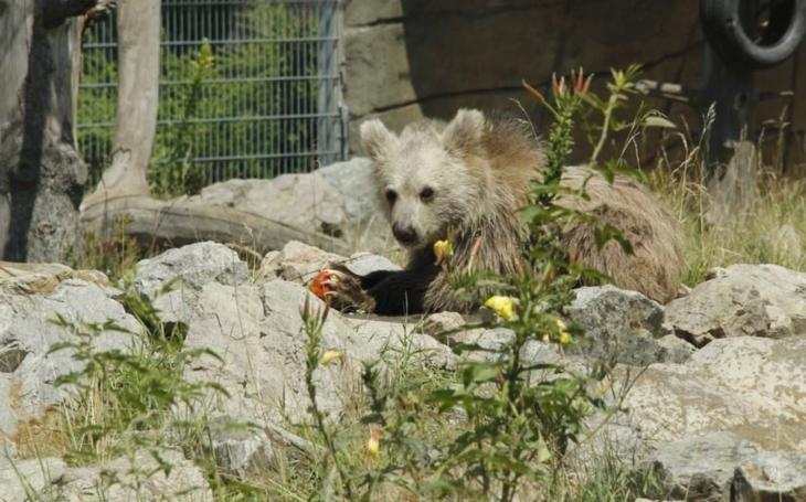 Hejtmanka šla za kmotru mláděti medvěda plavého. Medvídek dostal jméno Nochunsafed, tedy Bílý dráp