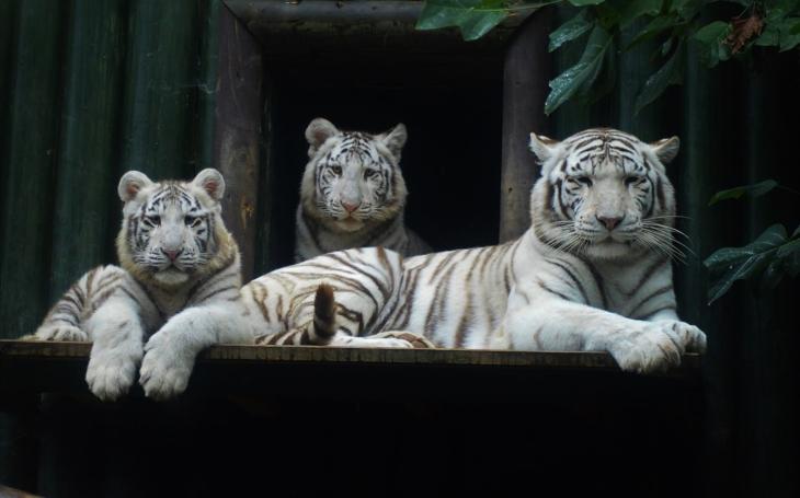 Kauza ´bílí tygři´ v liberecké Zoo ze všech úhlů. Opravdu půjdou pryč? Je rozumné se zbavit ikony?