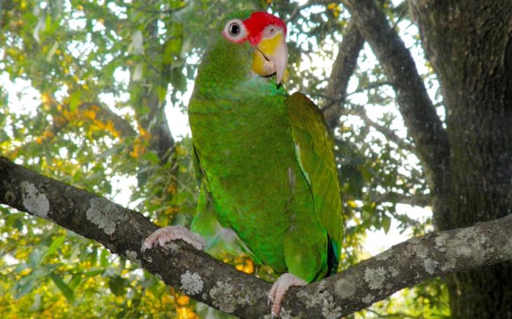 Objevitel nového druhu amazoňana z Mexika… Na Moravu se sjedou světoví experti na papoušky; na 1. mezinárodní kongres Exota Olomouc