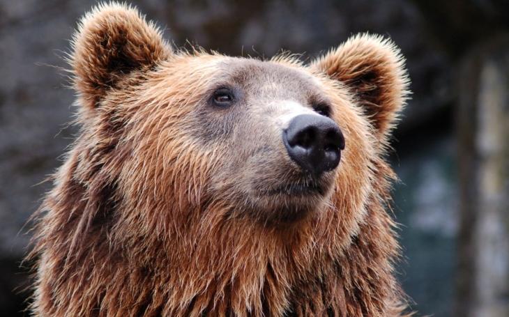 Nepanikařte, tvrdí ochránci, medvěd prý zabil ovce náhodou, šel po medu. Medvěda nelze stíhat, dodala PČR