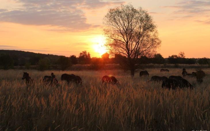 Já viděl divoké koně, běželi soumrakem... Živý export z Milovic do Dobřan na Plzeňsku. A to překvapení s dudkem