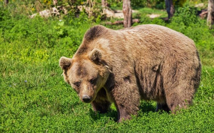 Kauza medvěd na Vsetínsku. Zabijáka ovcí a koz se aktuálně snaží odchytit. Nebojte, na huňáče nikdo střílet nebude