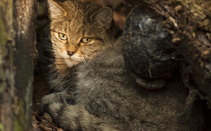 Lovili rysa, chytili kočku. Ale vzácnou, v Česku nevídanou. Fotopast odhalila v Českém lese kočku divokou