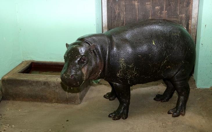 Škatulata u hrošíků liberijských. Do Zoo Plzeň přicestoval nový hrošík Hugo až z Bristolu, Adéla zas odjela na Kanáry