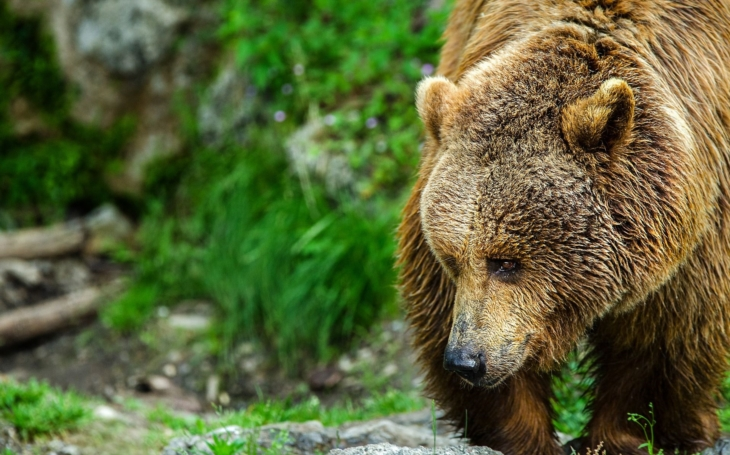 Medvěda viděli v Kysucích na Slovensku, možná je to ten náš. Ochránce o huňáčovi ´puberťákovi´, který zmizel z Beskyd