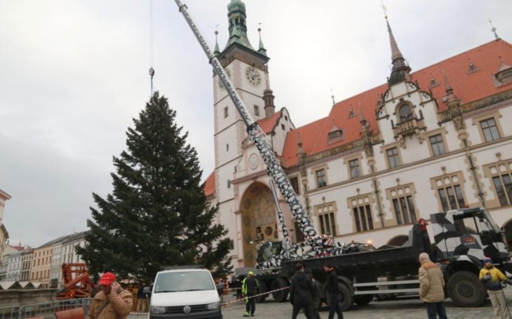 První vánoční strom? Koupila ho babička majitele na jedné z prvních výstav Flora Olomouc; ze zakrslé jedličky se vyklubala douglaska